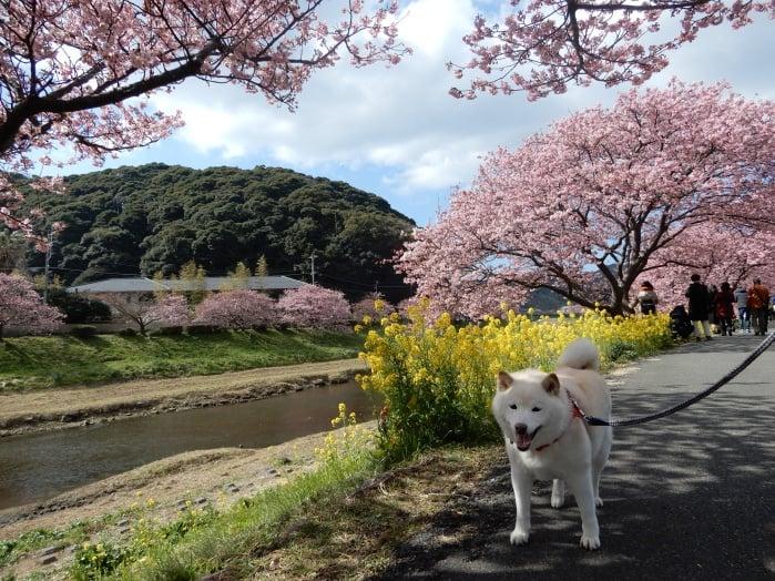 kawazu-sakura5