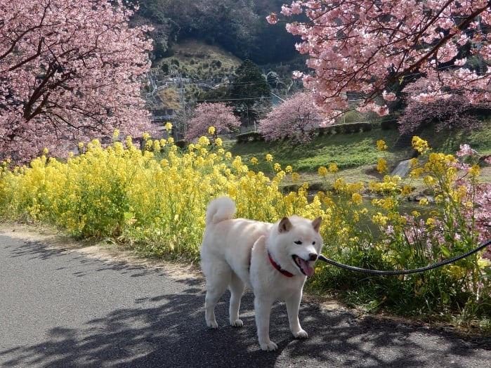kawazu-sakura2