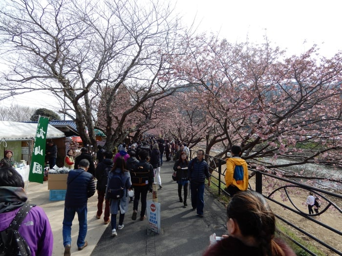 kawazu-sakura10